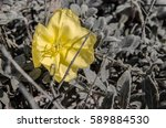 A Yellow Evening Primrose ...
