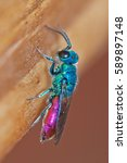 Ruby Tailed Wasp  Chrysis...