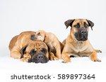 Stock photo bulmastiff and boerboel puppy sleeping on white carpet 589897364