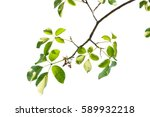 green leaves isolated on white... | Shutterstock . vector #589932218