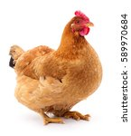 brown hen isolated on white ... | Shutterstock . vector #589970684