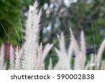 Group Of White Grasss  Long...