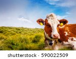 cows graze on alpine hills in... | Shutterstock . vector #590022509