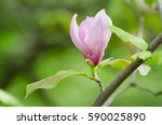 blossoming of pink magnolia... | Shutterstock . vector #590025890
