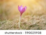 beautiful violet crocus flower... | Shutterstock . vector #590025938