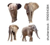 african elephants isolated on... | Shutterstock . vector #590054384