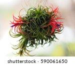 Tillandsia Ionantha Blooming I...
