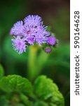 Small photo of blue ageratum flower closeup in summer garden