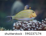 Small photo of Blue banded surgeonfish (Acanthurus lineatus), also known as the zebra surgeonfish.