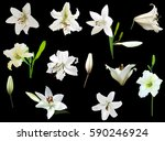 illustration with white lily... | Shutterstock .eps vector #590246924