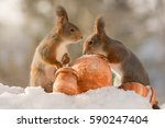 Close Up Of Red Squirrels With...