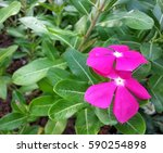 Pink Flower And Green Leaf