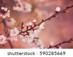 a branch of a blossoming tree... | Shutterstock . vector #590285669