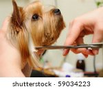 Stock photo yorkshire terrier getting his hair cut at the groomer 59034223