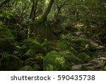 moss forest in shiratani... | Shutterstock . vector #590435738