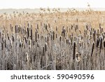 bulrush in wintertime with snow ... | Shutterstock . vector #590490596