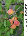 Apricot Tree And Fruits