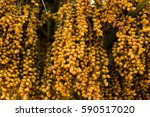 palm tree dates of amber color. ...   Shutterstock . vector #590517020