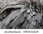 Many Ostrich Feathers