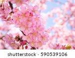 cherry blossoms | Shutterstock . vector #590539106