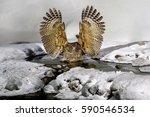Blakiston's Fish Owl  Bubo...