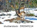 Two Deer Grazing In The Bush ...