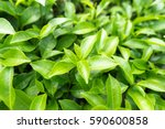 Stock photo green tea leaves in a tea plantation in morning 590600858