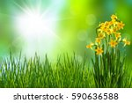 Daffodils In Meadow In Spring...