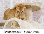 Stock photo  orange cat 590646908