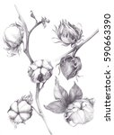 cotton   stalk plants with seed ... | Shutterstock . vector #590663390
