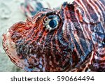 detail of a lion fish | Shutterstock . vector #590664494