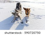 Two Playful Dogs In The  Winte...