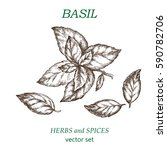 basil.  botanical illustration. ...   Shutterstock .eps vector #590782706