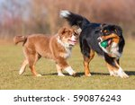 Stock photo australian shepherd adult and puppy playing with a ball 590876243