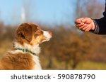 man gives his australian... | Shutterstock . vector #590878790