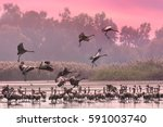 cranes flock at sunrise lake.... | Shutterstock . vector #591003740