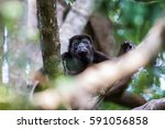 a howler monkey pauses whilst... | Shutterstock . vector #591056858