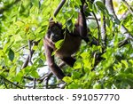seen in the trees of a dry...   Shutterstock . vector #591057770