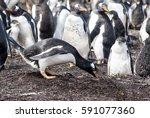 gentoo penguin   pygoscelis...   Shutterstock . vector #591077360