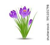 three purple crocus blooming... | Shutterstock .eps vector #591101798