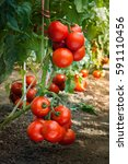 ripe organic tomatoes in garden ... | Shutterstock . vector #591110456
