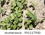 field of young buckwheat and... | Shutterstock . vector #591117500