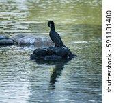 cormorants resting and drying... | Shutterstock . vector #591131480