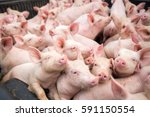 a small pigs at the farm swine... | Shutterstock . vector #591150554