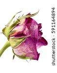 Dry Flower Of Pink Rose...