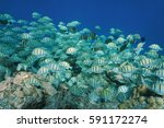 Small photo of Tropical fish school convict surgeonfish, Acanthurus triostegus, underwater Pacific ocean, Rangiroa, Tuamotu, French Polynesia