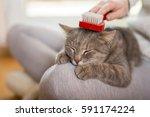 tabby cat lying in her owner's... | Shutterstock . vector #591174224