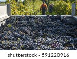 Plenty Of Red Wine Grapes On A...