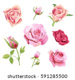 Stock vector set of roses pink red flowers and buds green leaves on white background digital draw 591285500