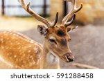 Deer Hunting In The Paddock On...